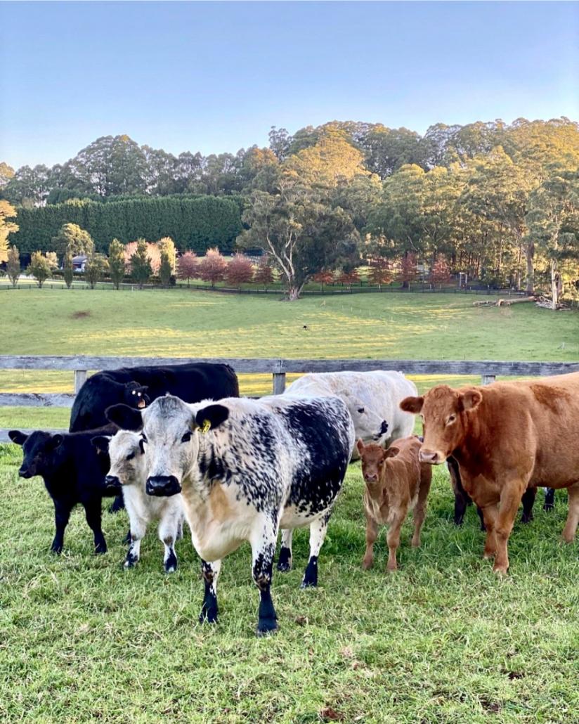 Speckle Park Cows